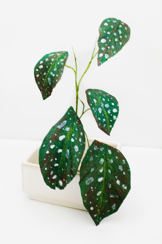 Paper Angel Wing Begonia